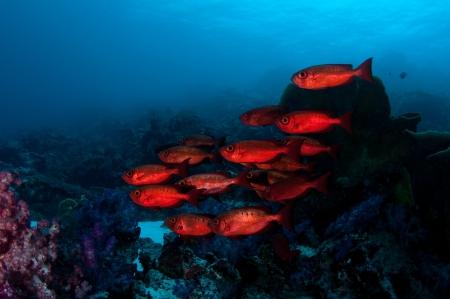 red fish: Red fish Stock Photo