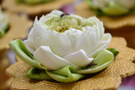 white lotus  Stock Photo - 17329483