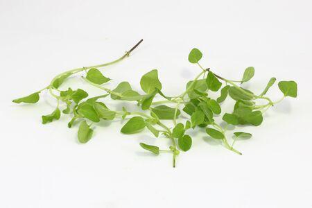 marjoram: Marjoram Herb