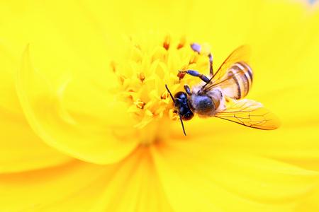 oxeye: Honey bee on yellow flower oxeye daisy