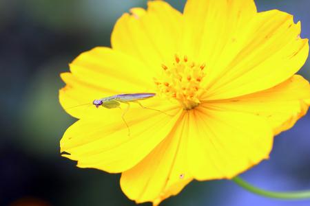 praying mantis: Small praying mantis on yellow flower