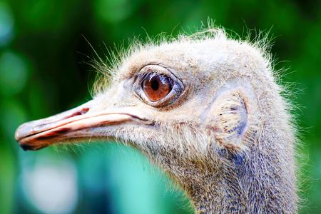 beak: Ostrich bird eye  head beak close up Stock Photo