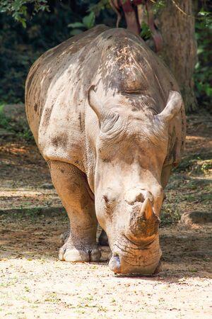 head down: Rhinoceros with horn head down under tree