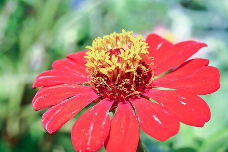 stigma: Aster flower red petal yellow filament stigma  outdoor Stock Photo