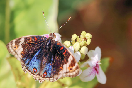 Colorful Peacock Butterfly one flower outdoor