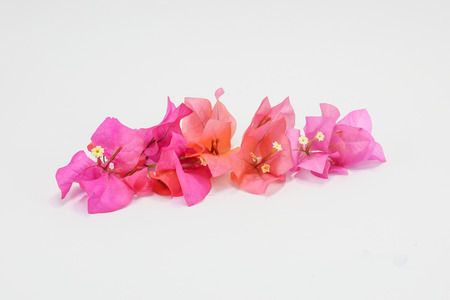 color bougainvillea: Colorful Bougainvillea Flower assorted mixed on white background