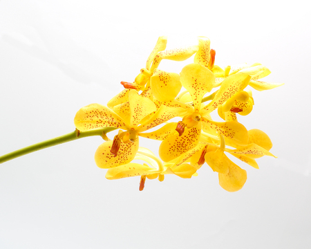 spotted flower: Spotted yellow Orchid Flower Colorful on white background