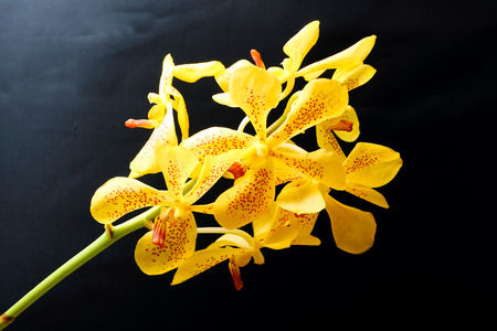 Spotted yellow orchid flower colorful on black background stock spotted yellow orchid flower colorful on black background stock photo 58797094 mightylinksfo