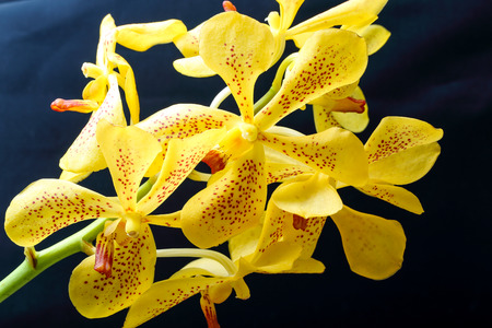spotted flower: Spotted Yellow Orchid Flower Colorful on black background Stock Photo