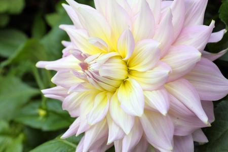 stargazer lily: Pink white flower in the garden outdoor daylight