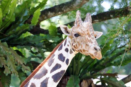 Giraffe head long neck looking at zoo daylight Stock Photo