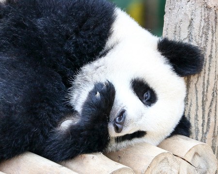 endanger: Baby Giant Panda Bear Playful Cute adorable outdoor daylight Stock Photo