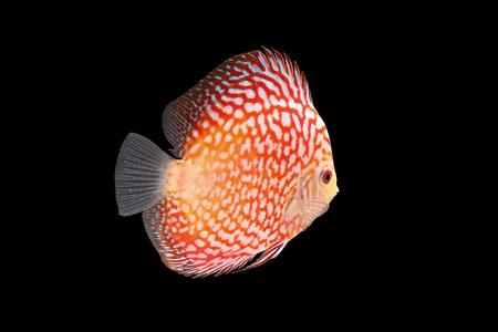 cichlid: Discus Fish fresh water aquarium on black background