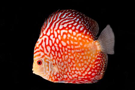 Discus Fish fresh water aquarium on black background