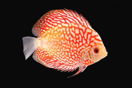 fresh water aquarium fish: Discus Fish fresh water aquarium on black background