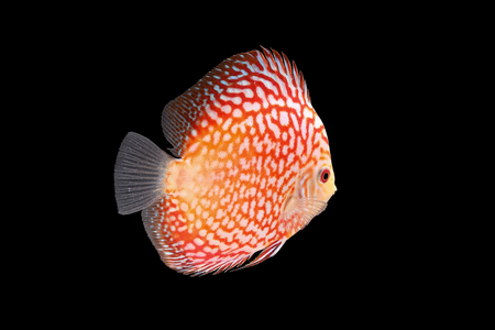 discus: Discus Fish fresh water aquarium on black background