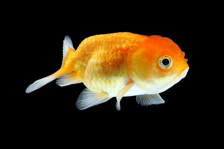 Gold Fish aquarium pet swimming in water