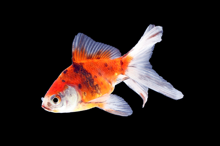 Gold Fish aquarium pet swimming in water