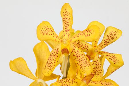 phalaenopsis: Colorful Orchid Flower Orchidaceous Orchidaceae colour Stock Photo