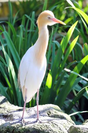 Cattle Egret bird
