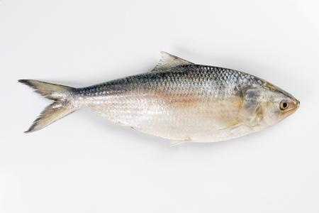 Tenualosa ilisha hilsa arenque terbuk pescado sobre fondo blanco. Foto de archivo