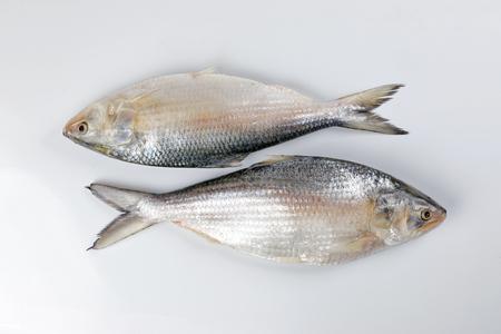 Tenualosa ilisha  hilsa herring terbuk fish on white background