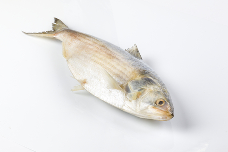 Tenualosa ilisha  hilsa herring terbuk fish on white background