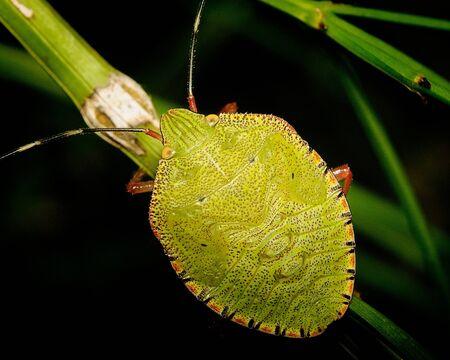 stinky: stinky bug Stock Photo