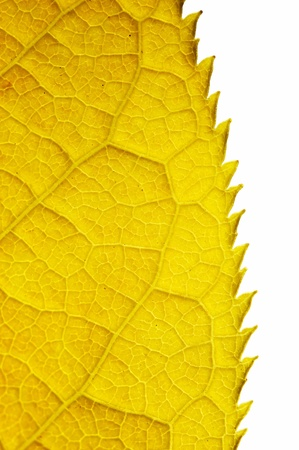 Part of golden autumn leaf isolated on white. Stock Photo
