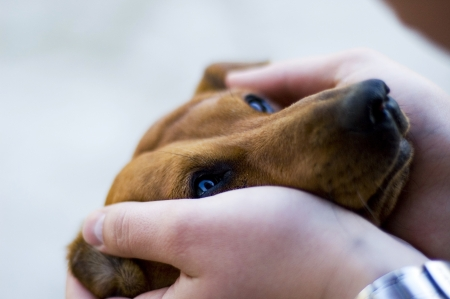 The duchshund puts the head in hands of the owner. Stock Photo