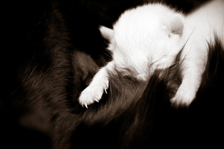 dearly: Newborn kitten at the time of nursing. Illustration of maternity.