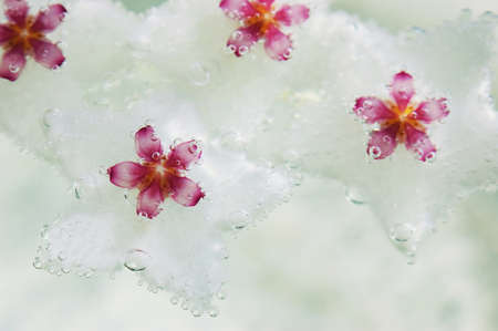 Hoya bella flowers under water, covered with bubbles of oxygen. photo