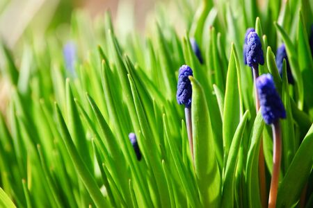 Muscari flowers in lights of the sunshine.
