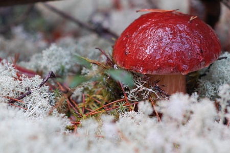 Cepe mushroom in the forest on the moss photo