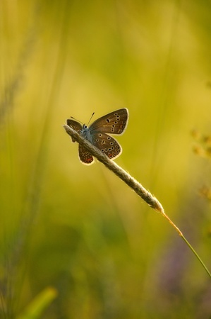 Silver-studded blue butterfly sitting on the grass in the ambient light of the evening sun. photo