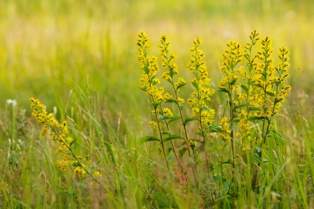 Herb. golden-rod photo