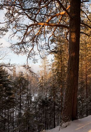 sunset in winter forest photo