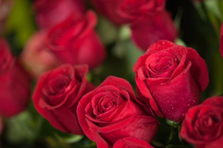 Red roses close up  Background