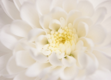 white flowers: close up of precious white chrysanthemum Stock Photo