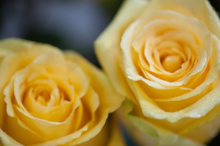 Yellow roses close up. Background. Stock Photo