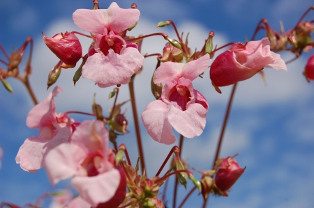 Summery day. Flowers of himalayan balsam (impatiens gladulifera) close up.