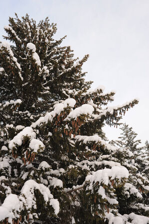Fir tree covered by snow photo
