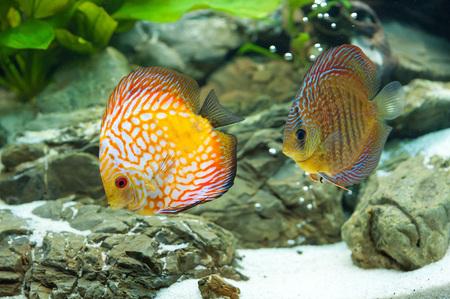 diskus: Discus - exotic aquarium fish close up