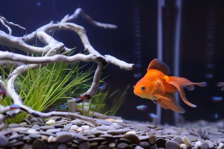 fishtank: Goldfish close up
