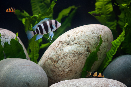 freshwater clown fish: Exotic fishes in artifical isotope. Stock Photo