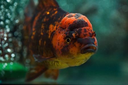 Oranda fish close up. Stock Photo - 25758826