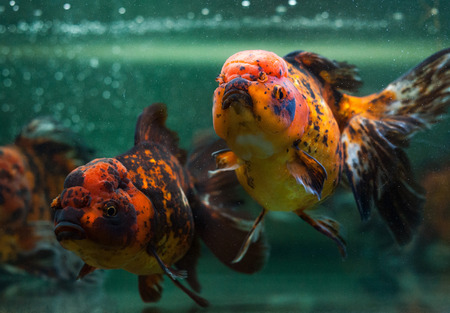 Oranda fishes close up. Stock Photo - 25758829