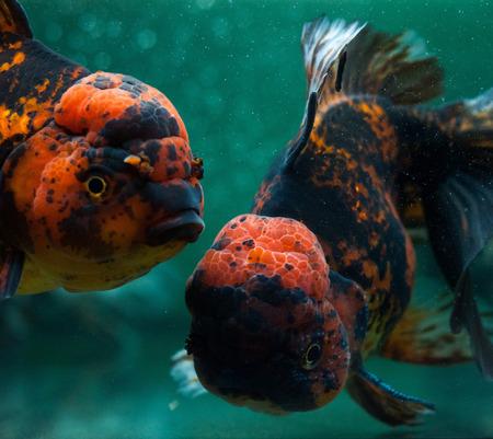 oranda: Pesci Oranda vicino. Archivio Fotografico