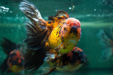oranda: Oranda fish close up.
