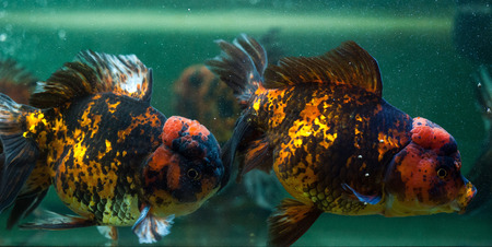 Oranda fishes close up. Stock Photo - 25758727
